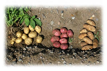 Salazar Potatoes